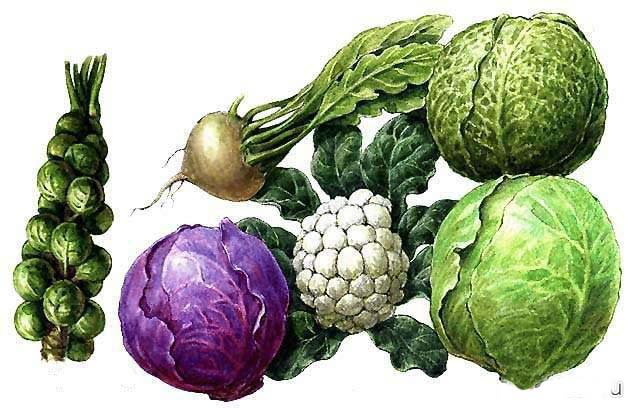 Какие витамины содержатся в капусте