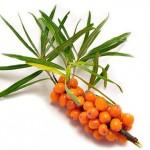 Уникальные свойства плодов облепихового дерева с пользой для здоровья