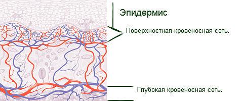 micro circulaciya kozhi