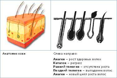 anatomija kozhi