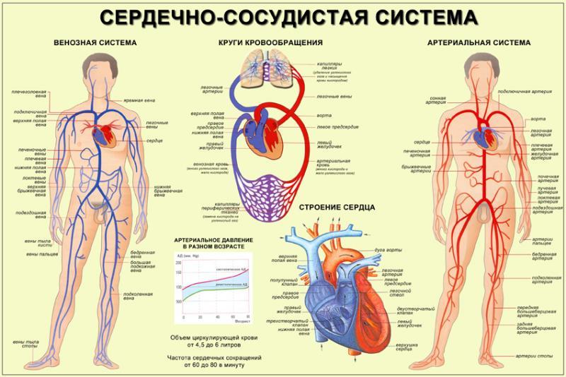 Карта сердечно сосудистой системы