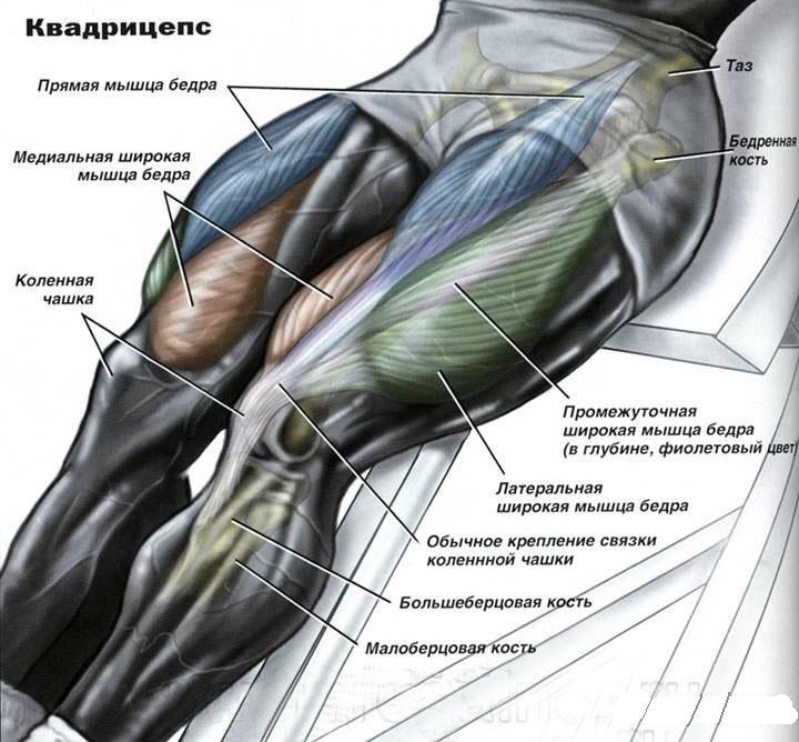Анатомия тазобедренных мышц