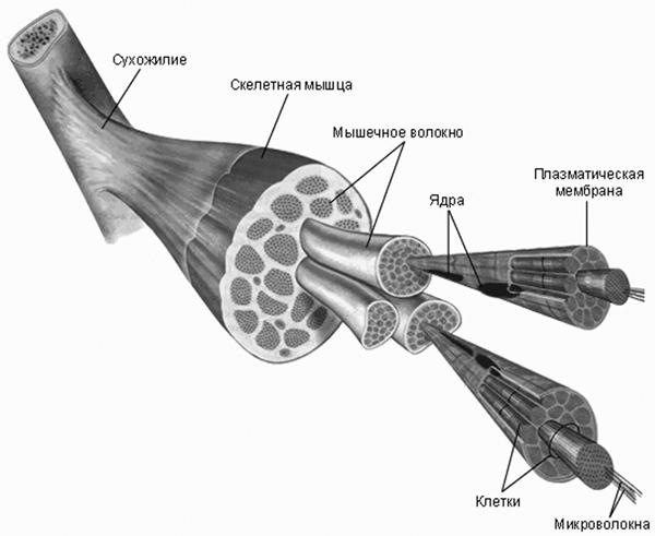 struktura mashc